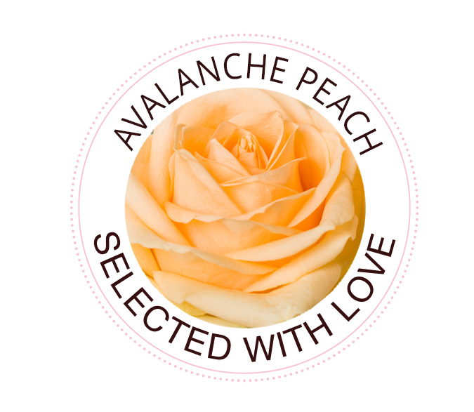 Avalanche Peach roses