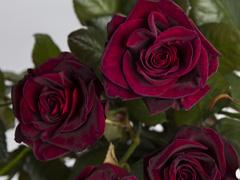 Black Baccara roses