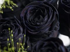 Black Halloween roses