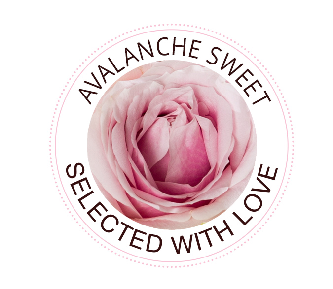 Avalanche Sweet roses