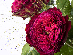 Red wild roses